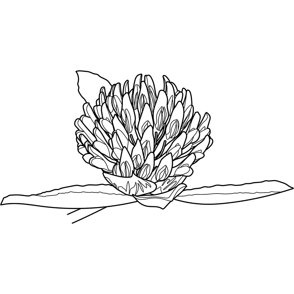 ムラサキツメクサ:黒線バージョン